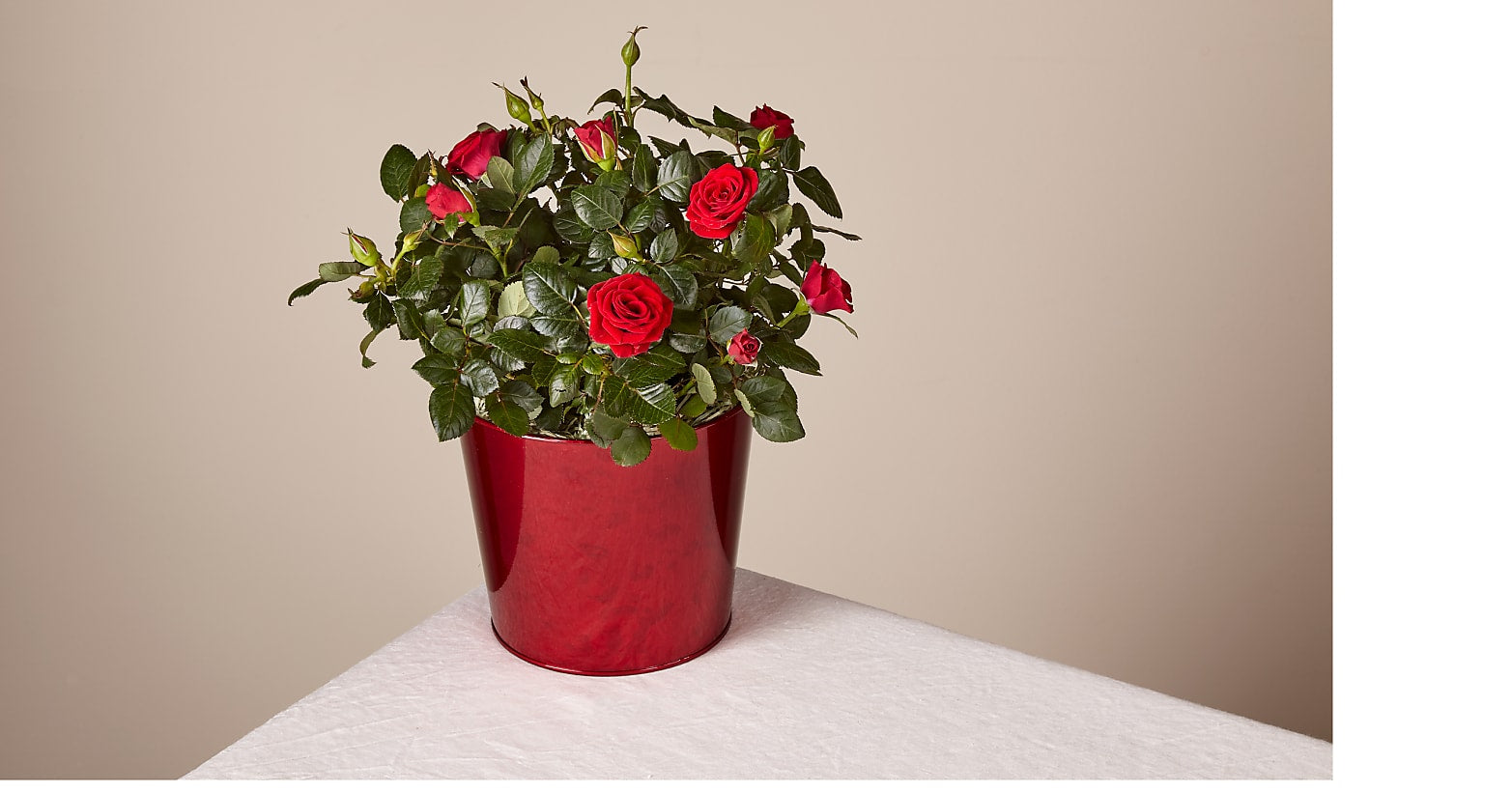 Red Hot Love Rose Plant