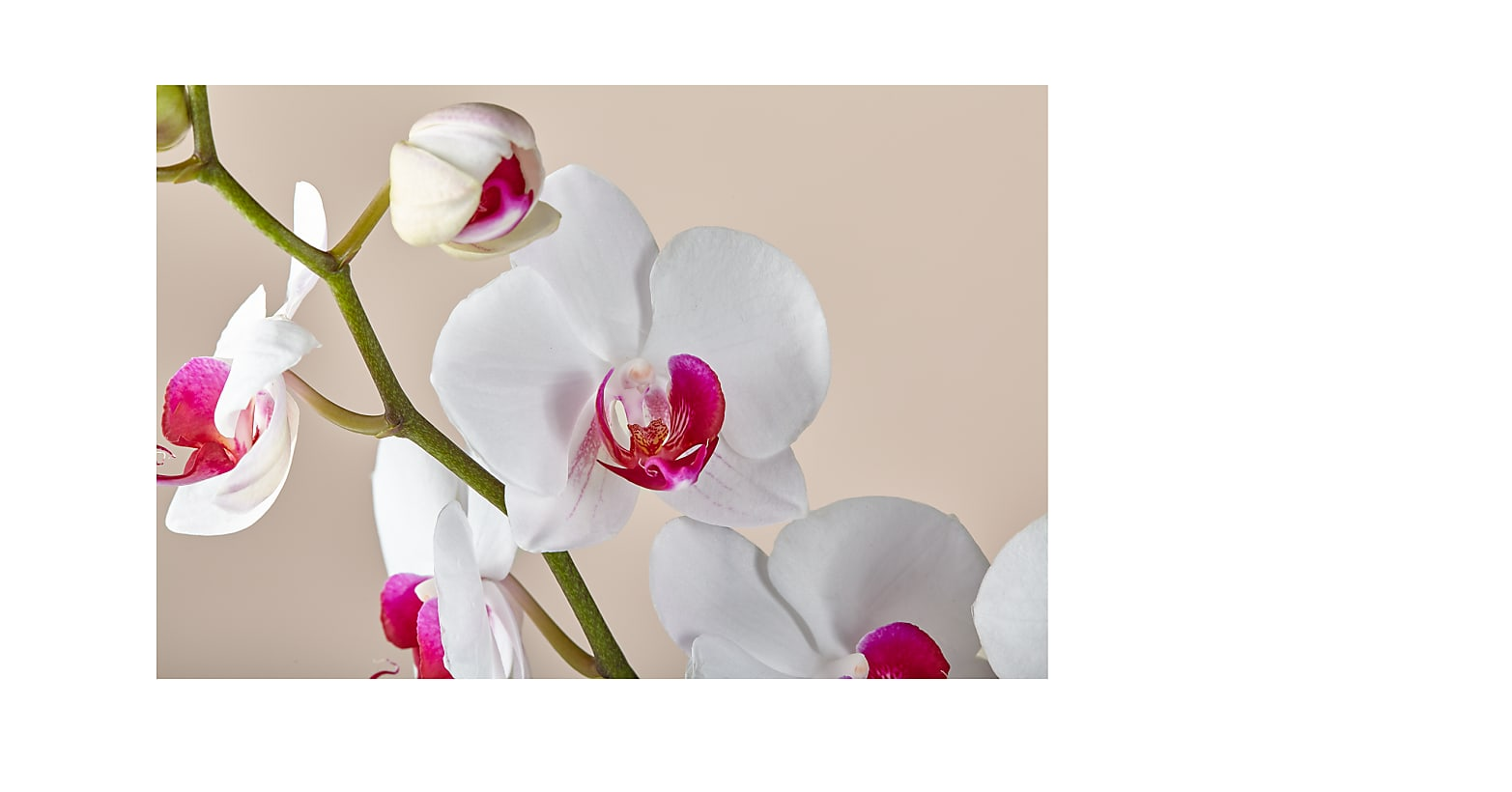 Romantique Pink Orchid - Image 2 Of 2
