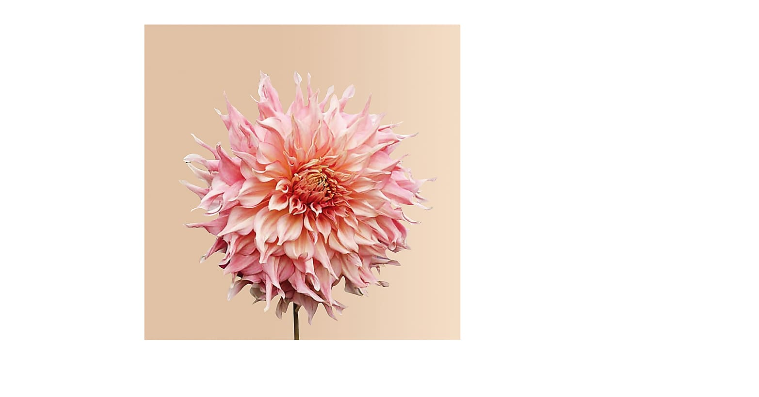 Pink Mix Dahlia Grow Kit from Plantgem - Image 4 Of 5