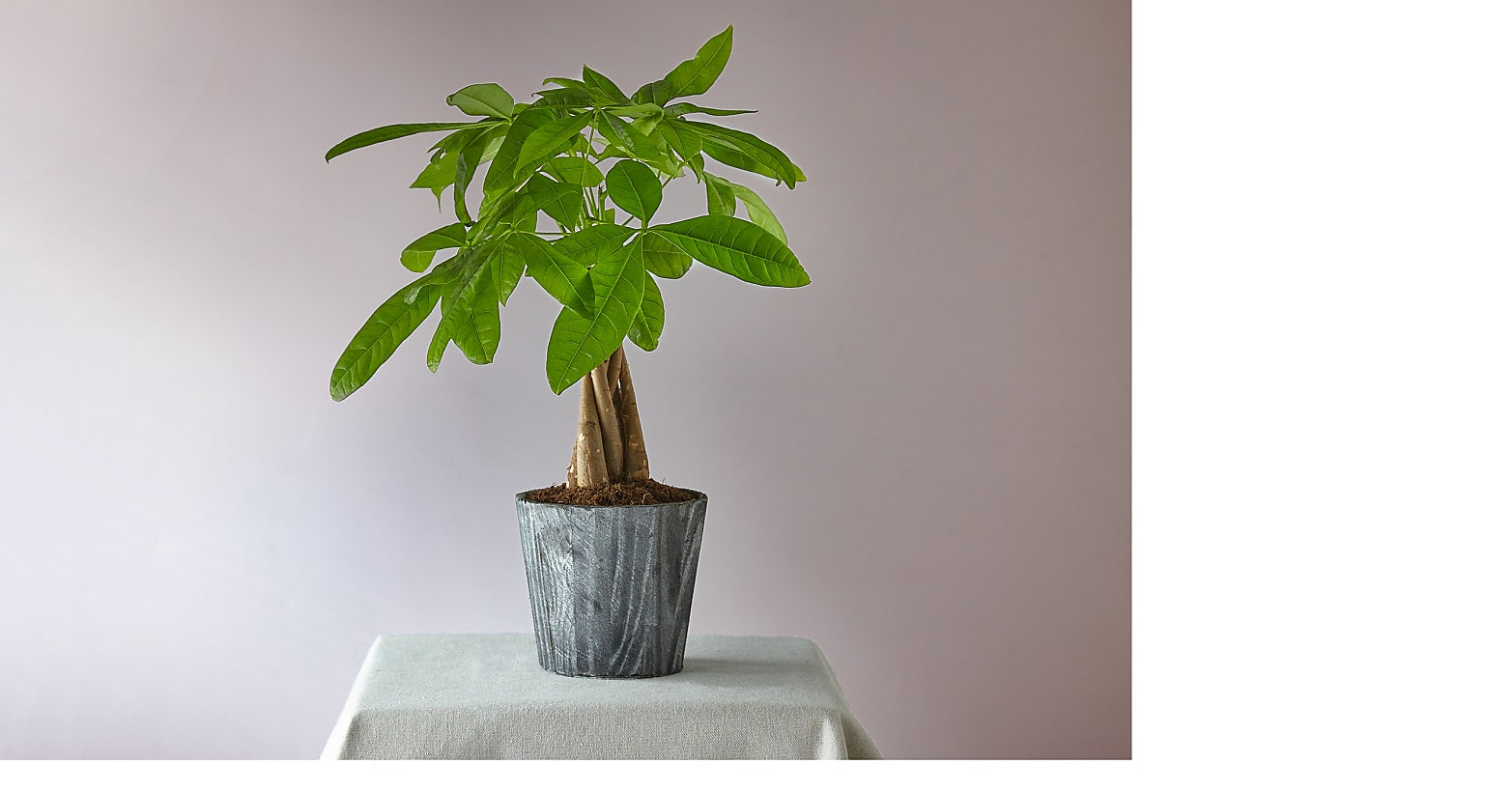 Lucky Day Money Tree - Image 1 Of 3