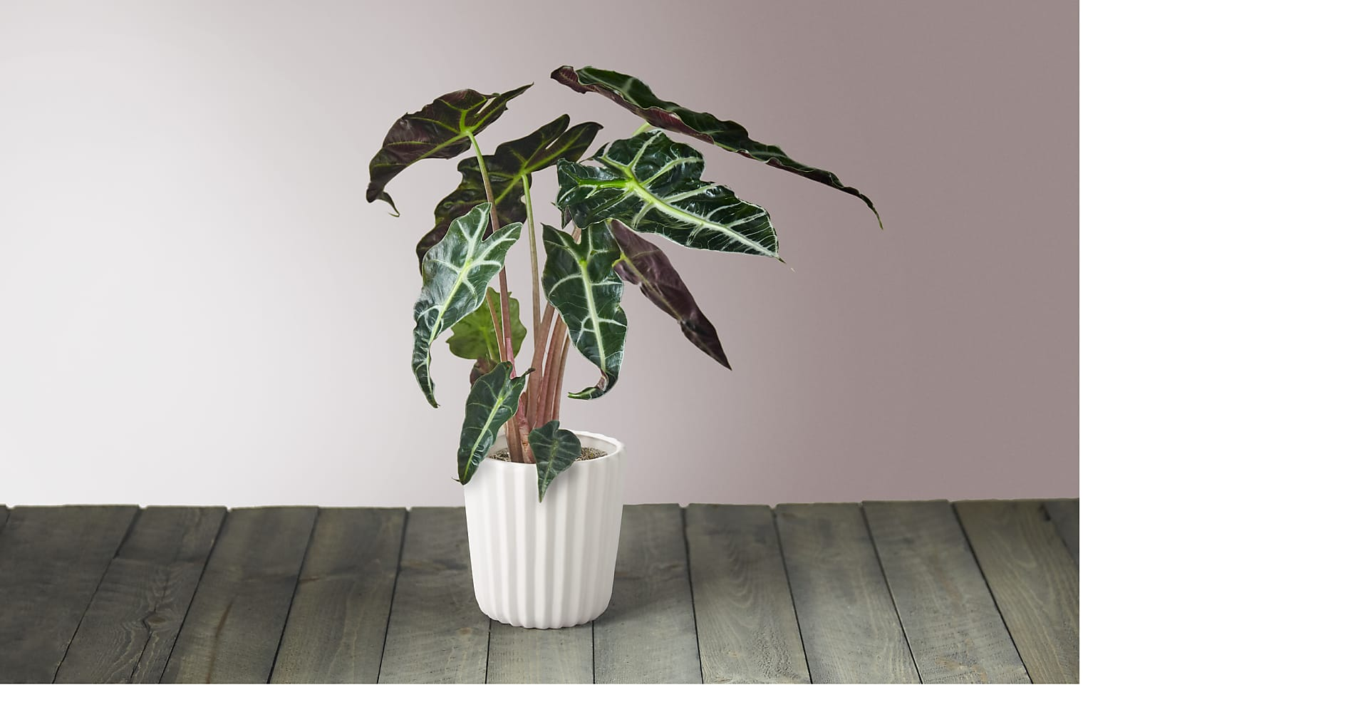 Elephant Ear Alocasia - Image 1 Of 5