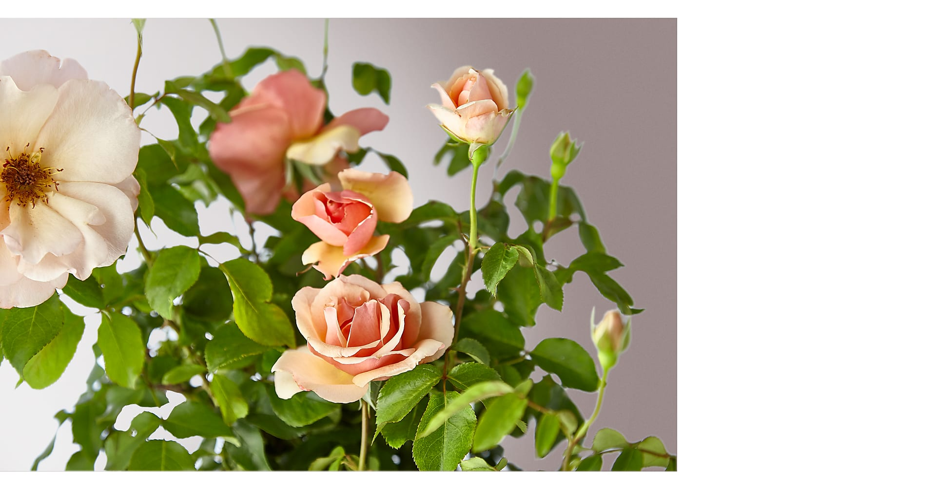 Mother of Pearl Rose Plant - Image 2 Of 3