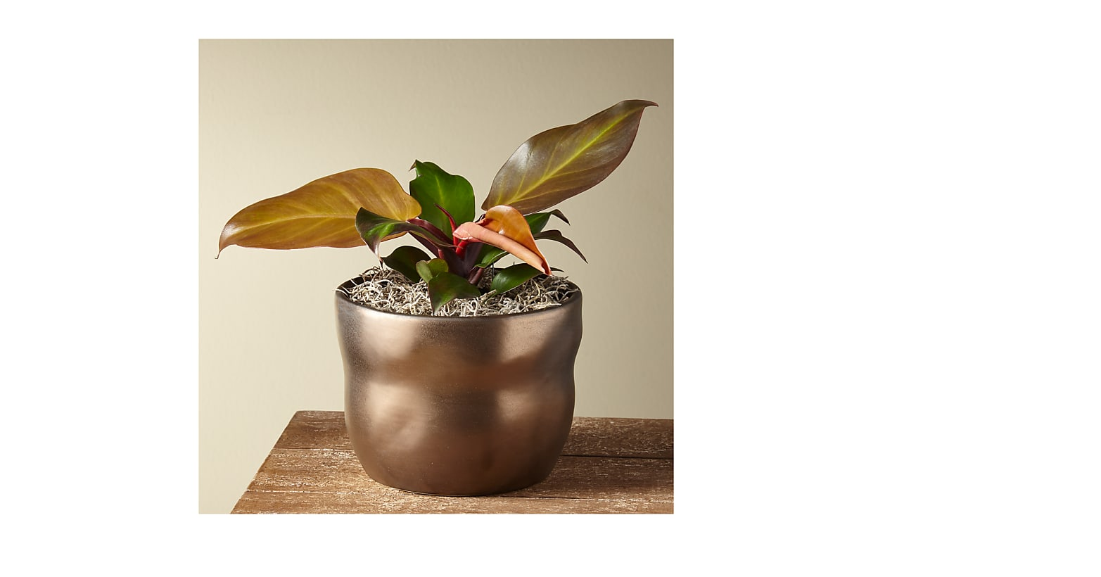 Red King Philodendron