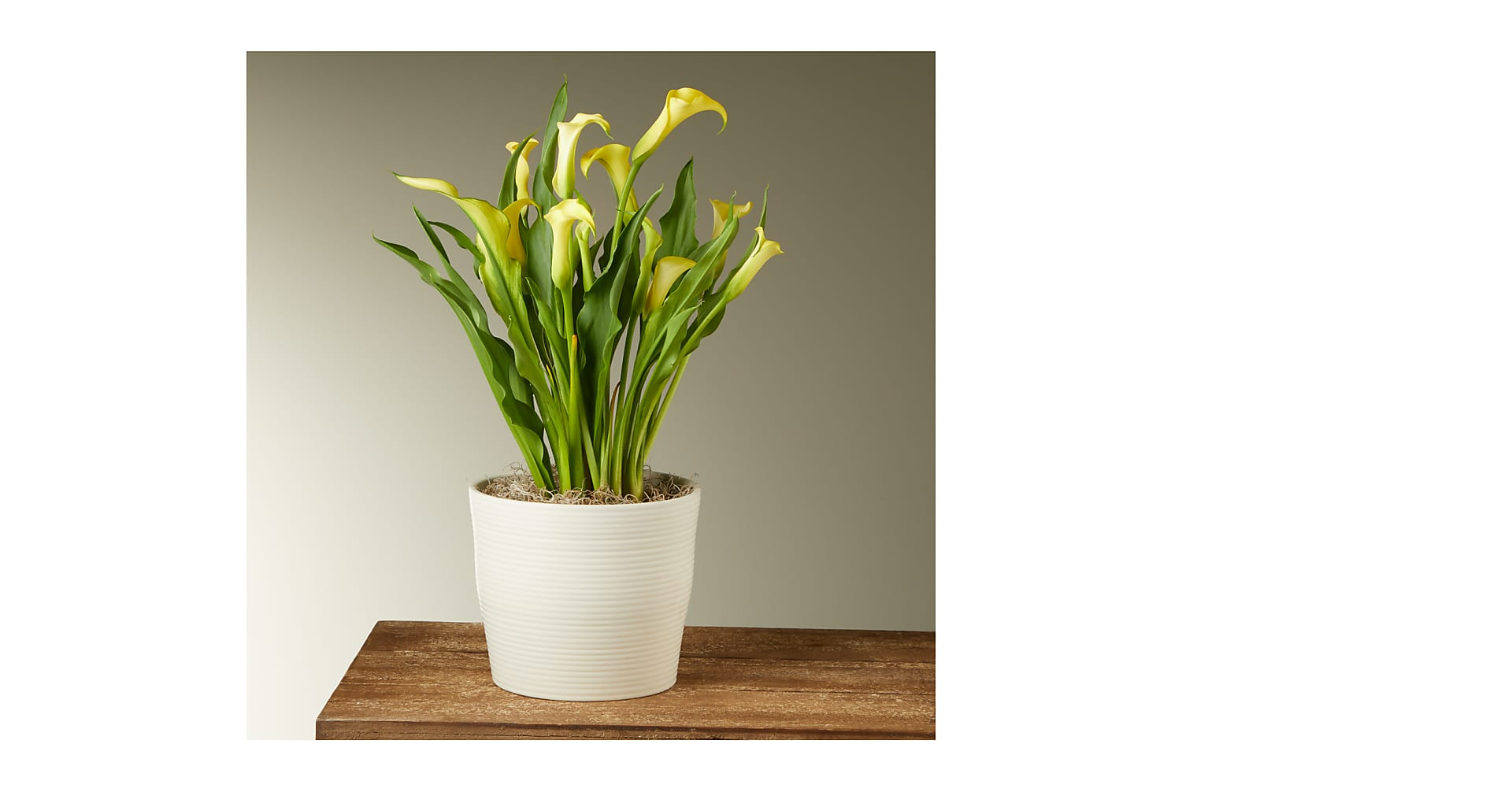 Yellow Calla Lily Plant - Image 1 Of 2