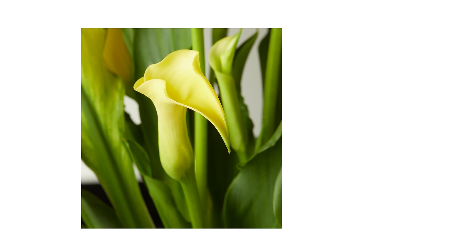 Yellow Calla Lily Plant - Image 2 Of 2