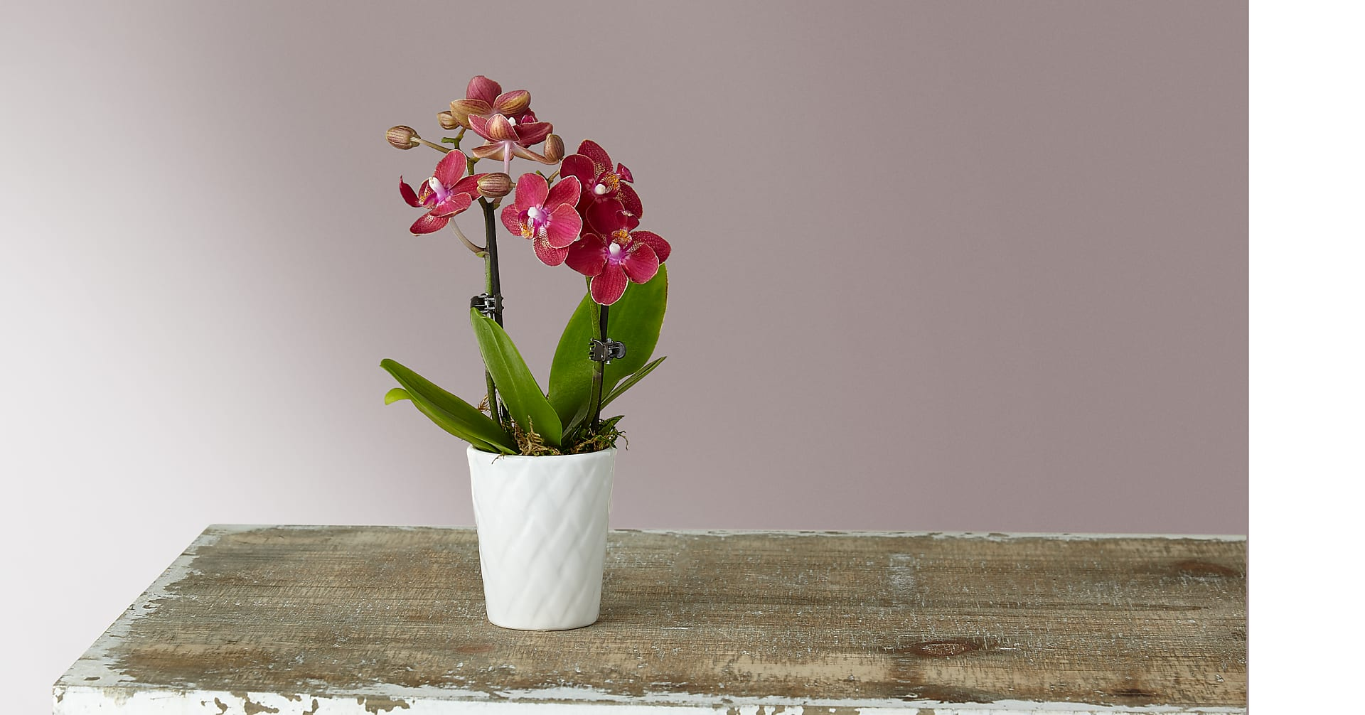 Mini Orchid - Image 1 Of 2