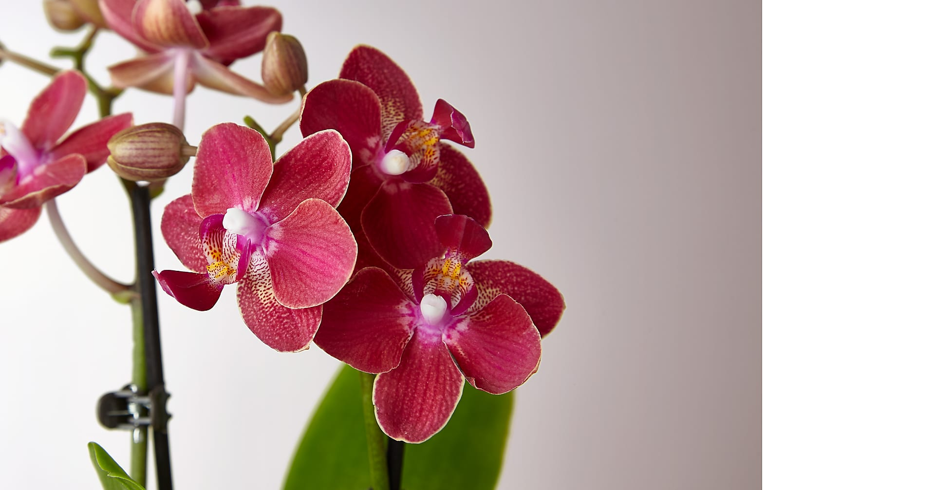 Mini Orchid - Image 2 Of 2