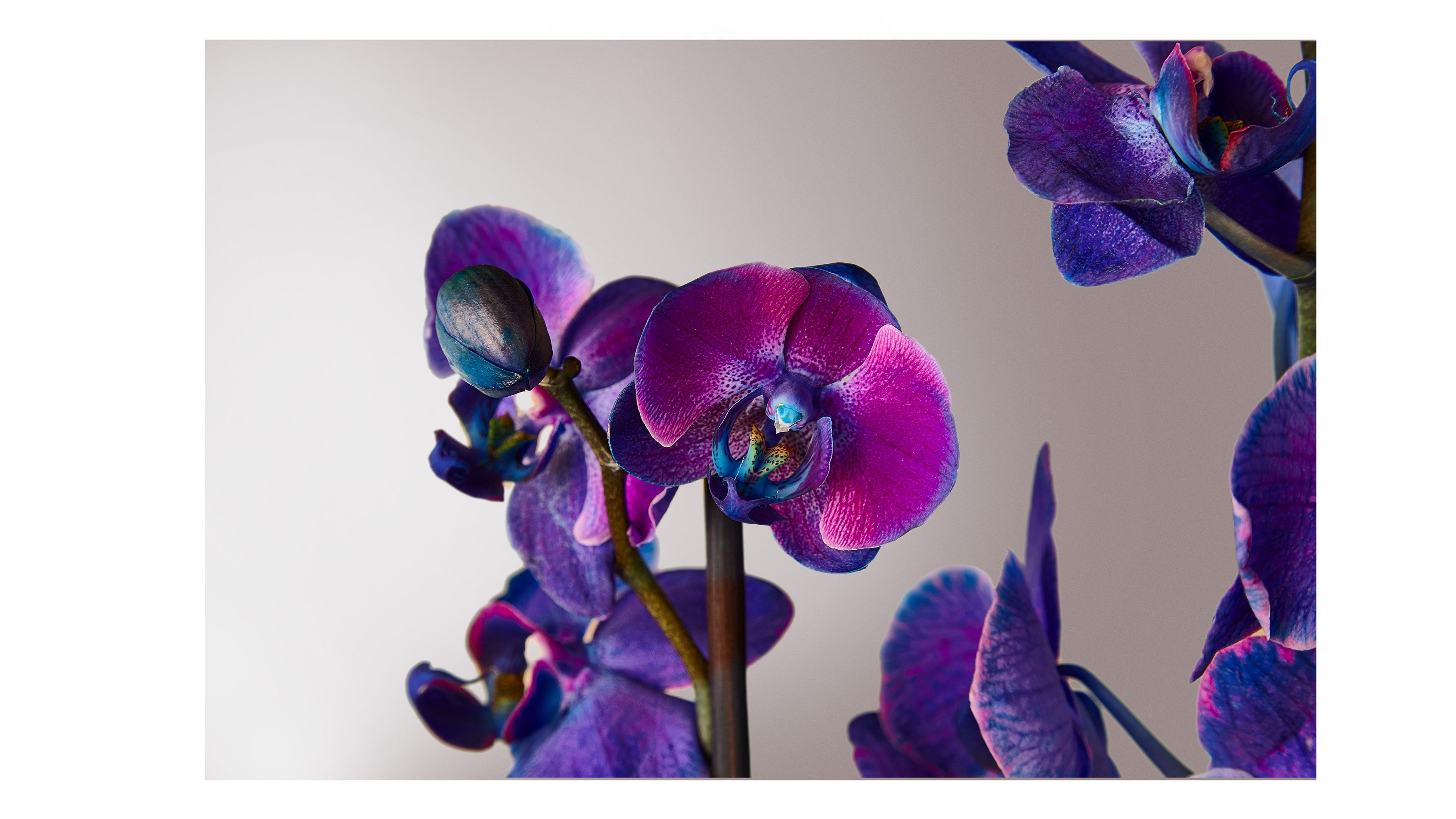 Masterful Watercolor Orchids