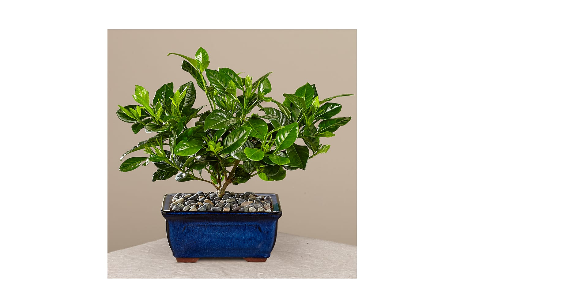 Blossoming Abundance Gardenia Bonsai - 8 inches - Image 3 Of 3