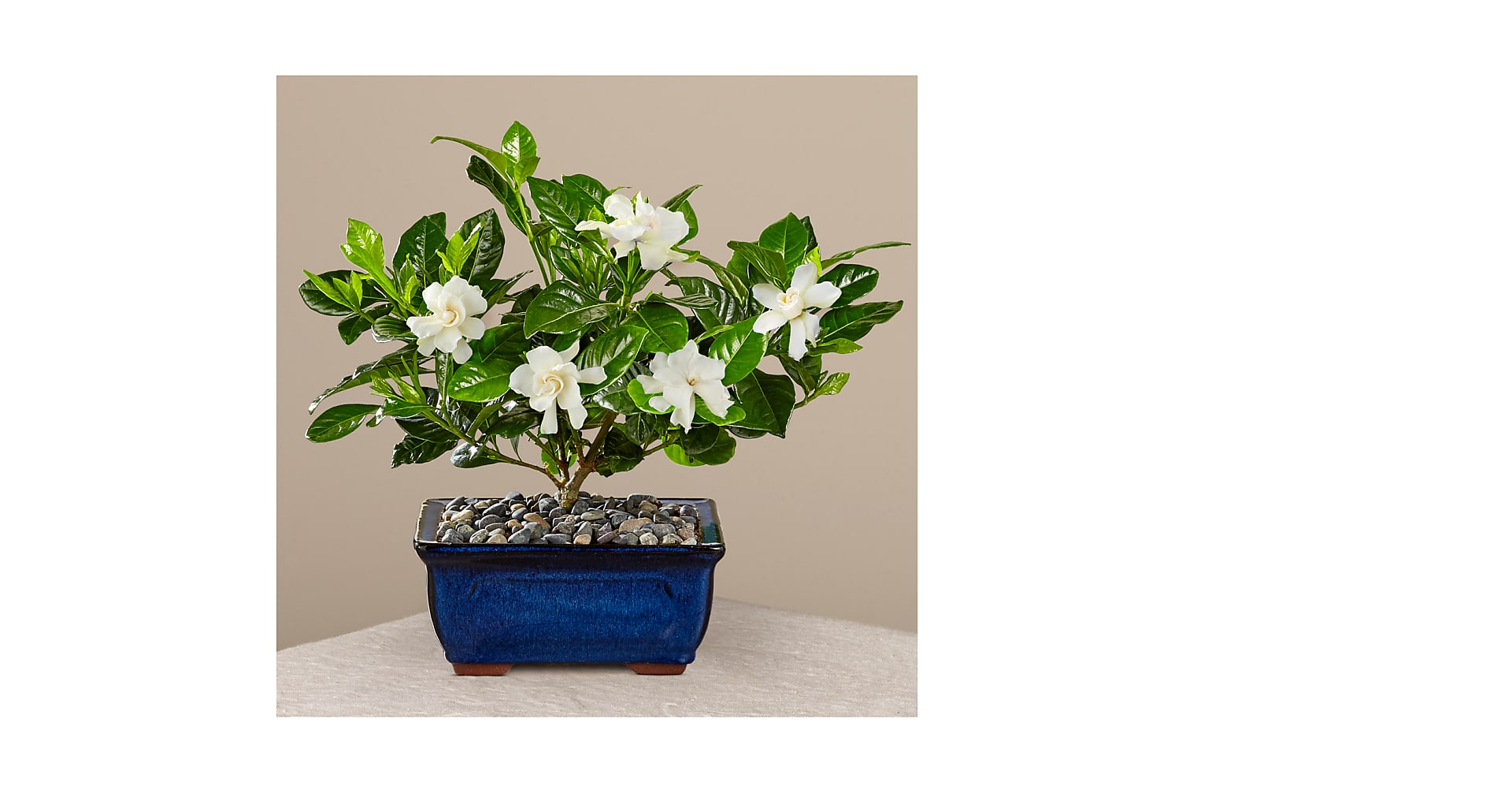 Blossoming Abundance Gardenia Bonsai 8 Inches