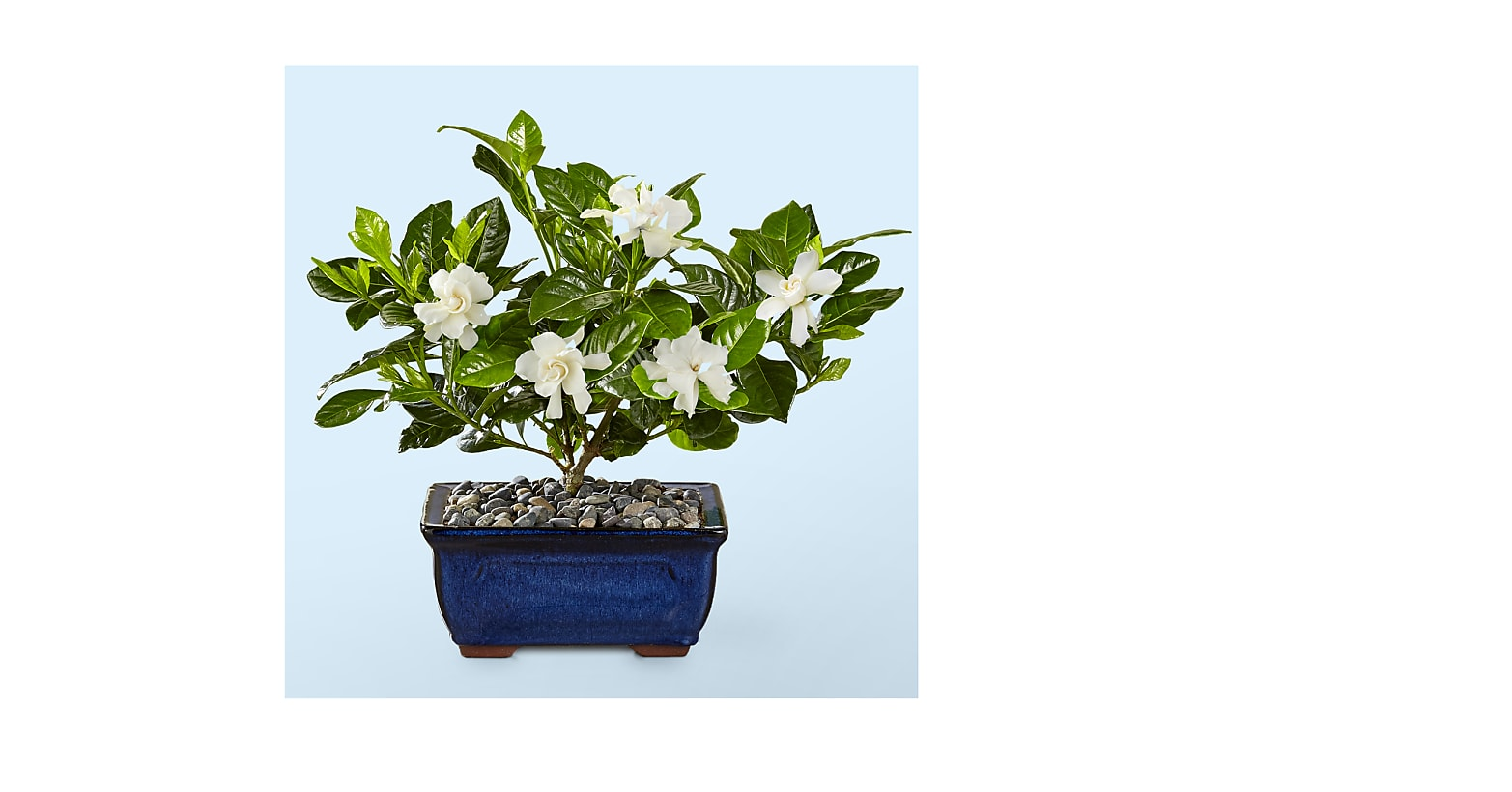 Blossoming Abundance Gardenia Bonsai - 8 inches - Image 1 Of 3