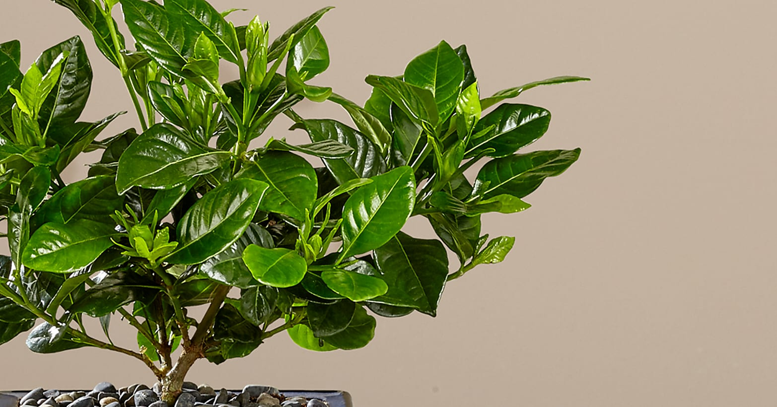 Blossoming Abundance Gardenia Bonsai - 8 inches - Image 2 Of 3