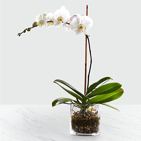 Orchid Flower Delivery Order Send Orchids To Their Door Ftd