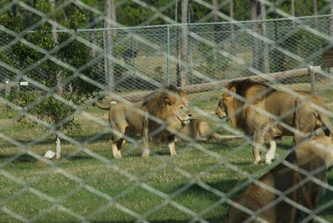 Lions with more hazard but less risk & exposure