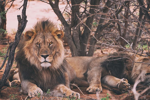 Lions with more more hazard, risk & exposure.
