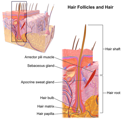 hair_follicles