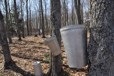Maple syrup sap lines for collection