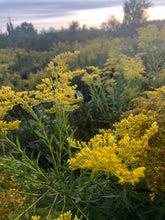 Load image into Gallery viewer, Fielding Goldenrod