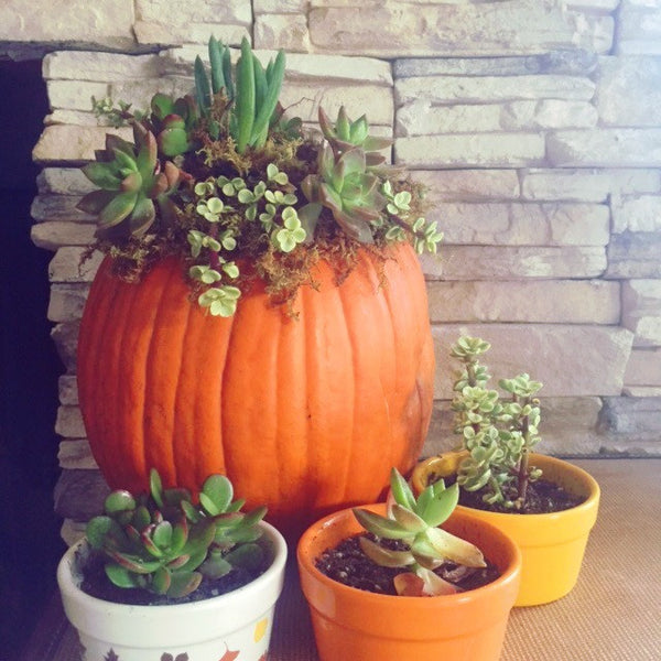 DIY Pumpkin Succulent Decoration