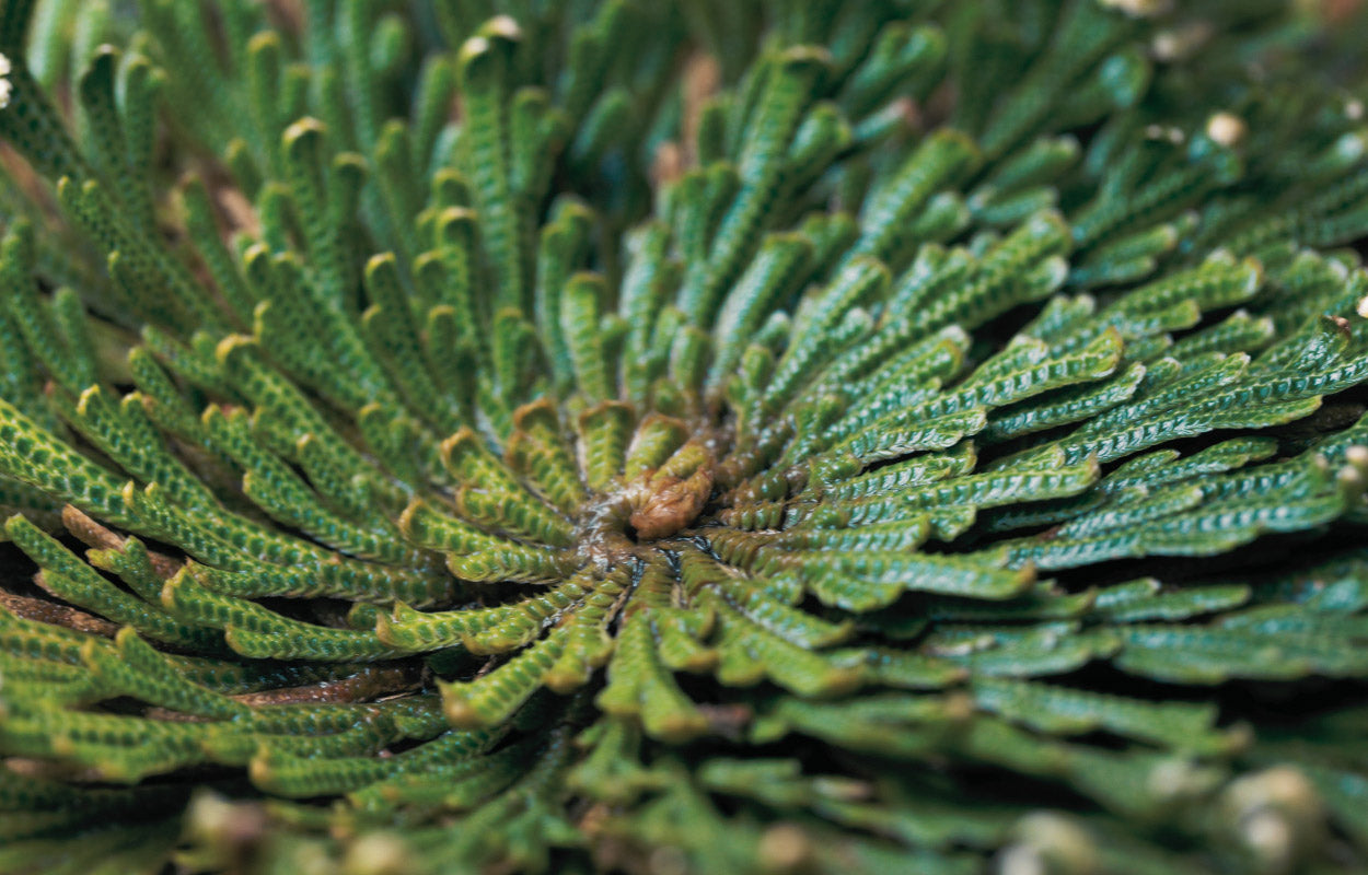 Rose of Jericho | Bring Your Hair Back to Life | House of Dear