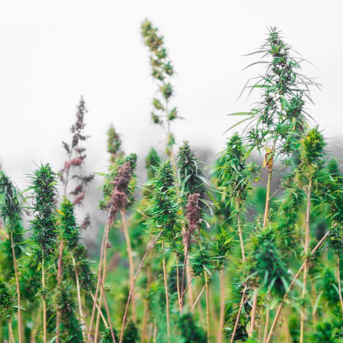Where and How Hemp is Grown Matters