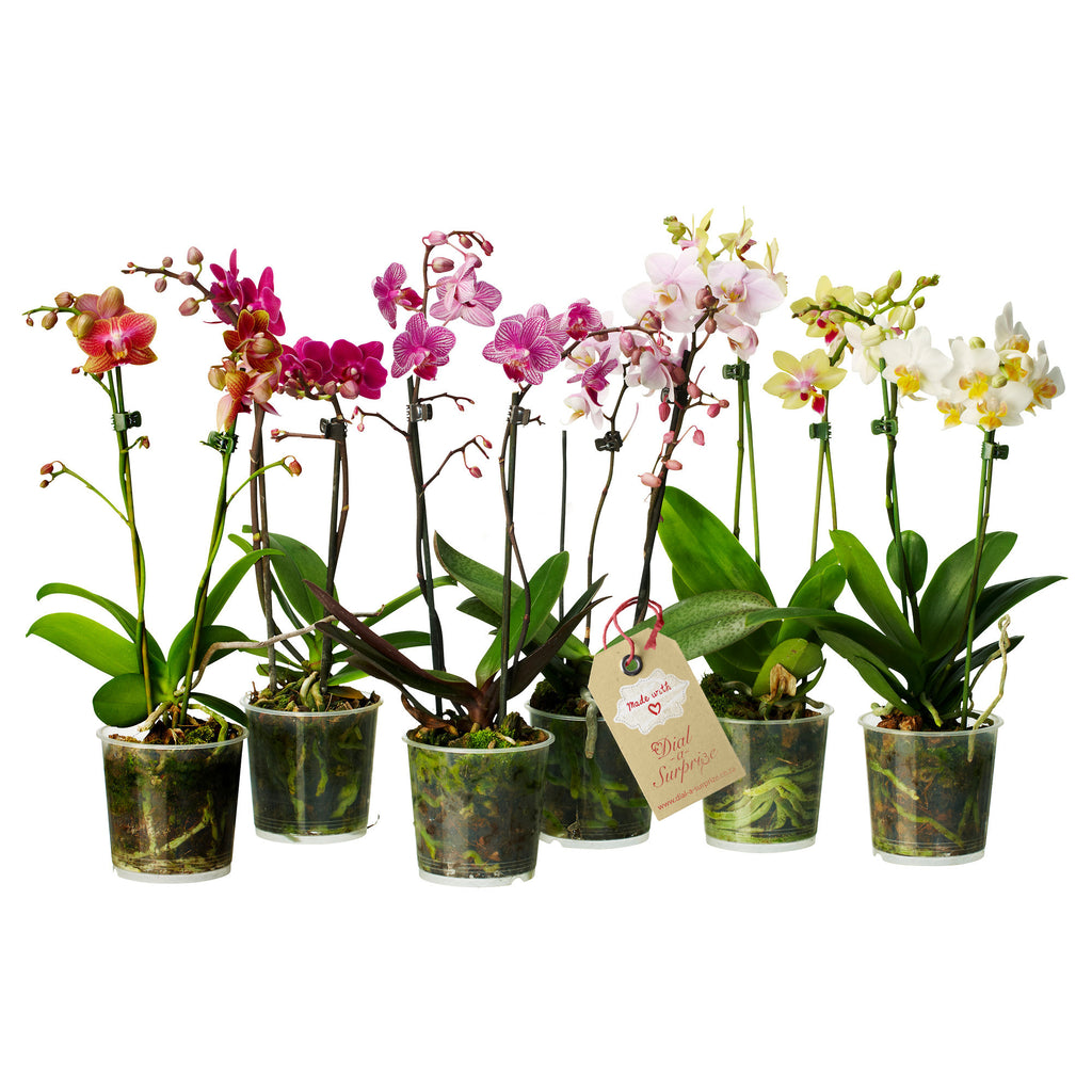Orchids - Single and Double stems (with or without a pot)