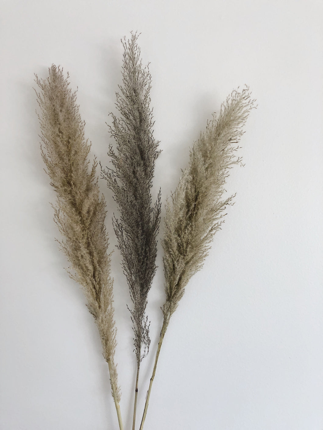 Grey Pampas Grass