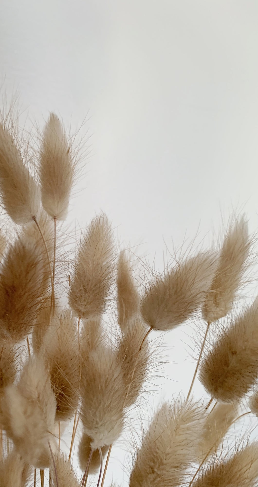 Natural Bunny Tails Wallpaper I