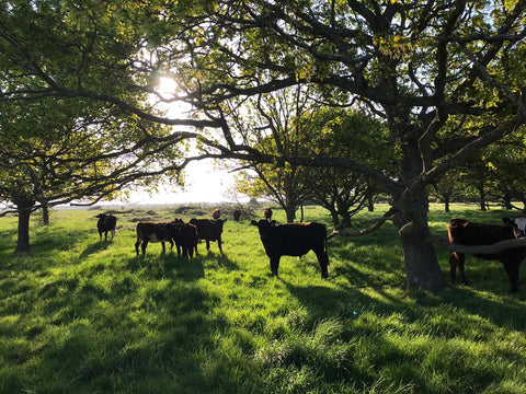 Rother Valley Farm cattle grazing
