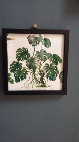 Botanical Framed Picture - Cheeseplant