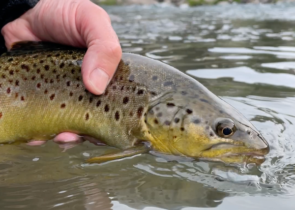Truckee river brown trout catch and release