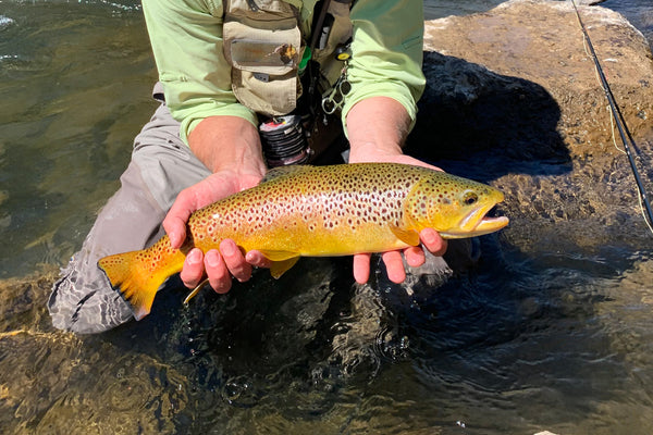 brown trout truckee