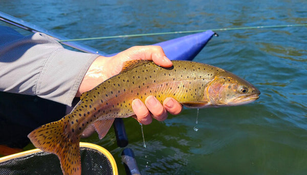 Holding a lake cutthroat trout from float tube