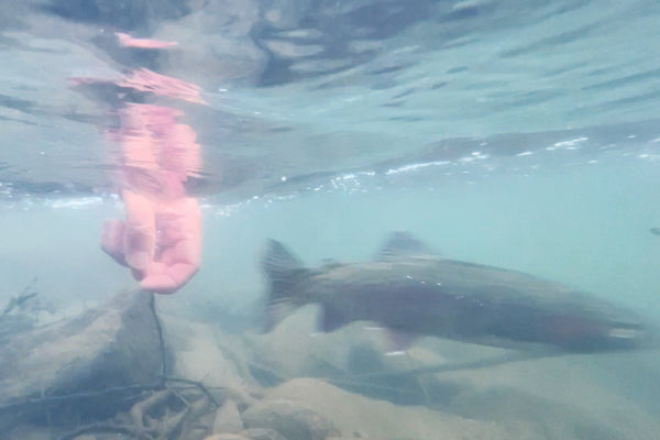 trout release undewater big truckee river fly fishing