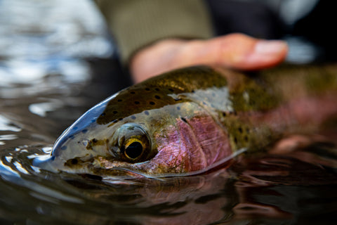 image of rainbow trout face truckee river