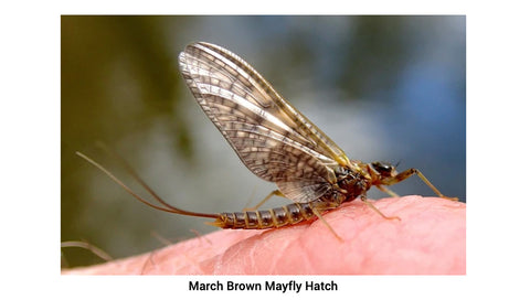 march brown mayfly