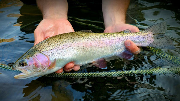 Truckee river rainbow trout catch and release