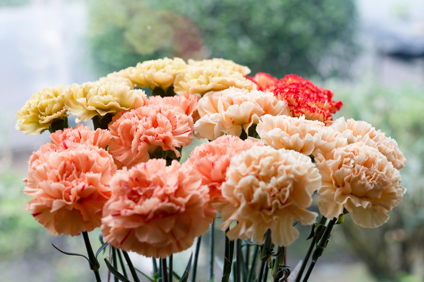 Creative Birthday Gifts for your Girlfriend - Carnations - La Florela