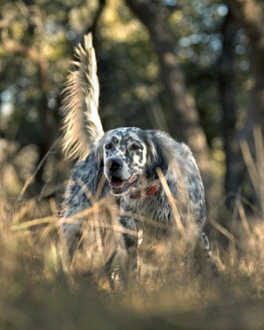 Chien chasse becasse