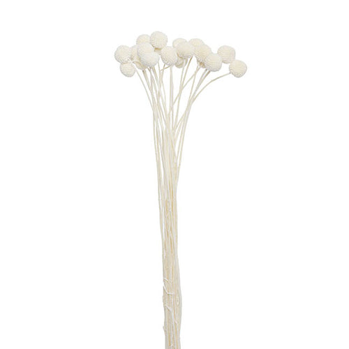 Billy Button Dried Flower