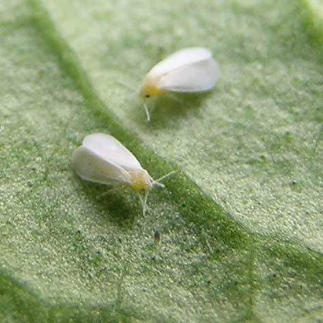 White Fly controlled by Greenbug