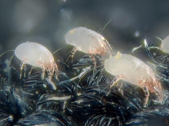 Dust Mites controlled by Greenbug