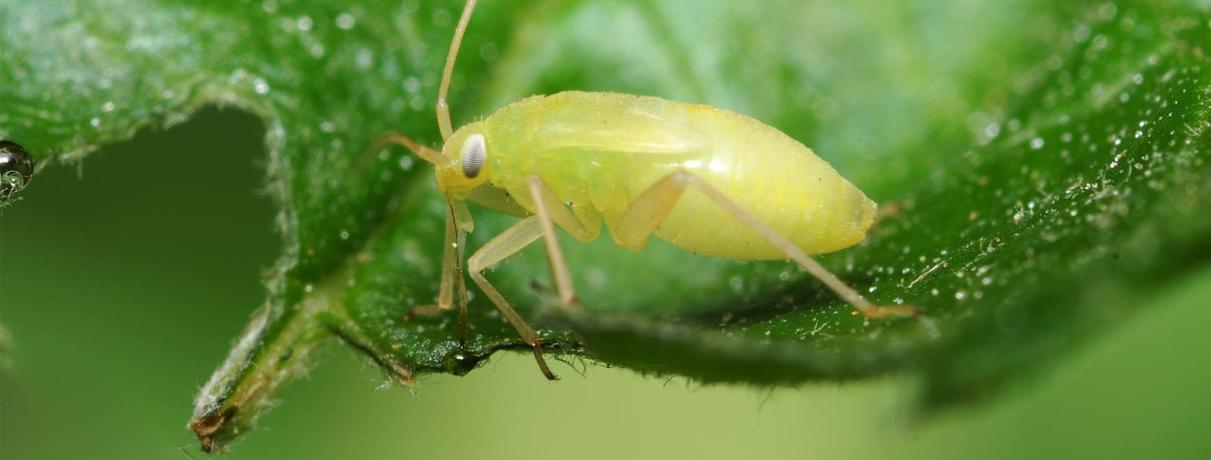 Aphids controlled by Greenbug