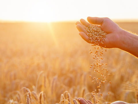 someone pouring grains of wheat between their hands