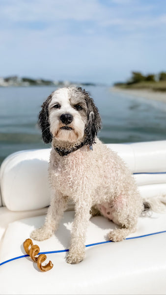 A wet Saint Berdoodle on a boat, standing next to a Redbarn Bully Spring