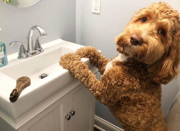 Goldendoodle standing in front of bathroom sink with a Rebarn Chew-A-Bulls Brush on the counter