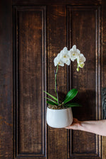 White Phalaenopsis Orchid in a White Ceramic Pot