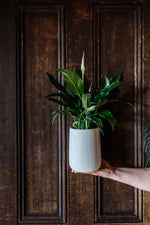 Peace Lily in a White Ceramic Pot