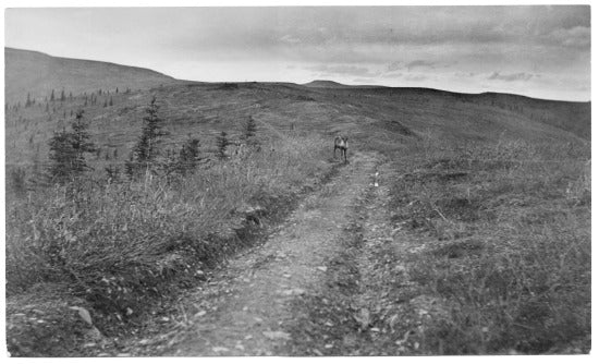 Caribou on the Trail to Miller and Glacier Creeks, c1923.