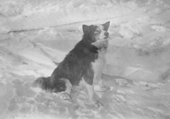 Portrait of a Dog, n.d.